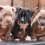American Pitbull Terrier cachorros