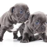 Bebés de perro Bulldog inglés