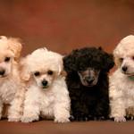 Caniche mediano cachorros