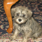 Inteligencia de cachorros Schnauzer enanos