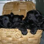 Cachorros Scottish Terrier de 2 meses