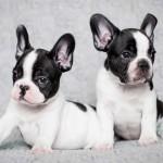 Bebés de Bulldog Francés