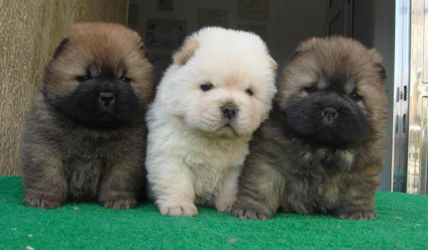 Tipos de cachorros de Chow Chow