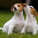 Bebés de 4 meses de Jack Russell Terrier
