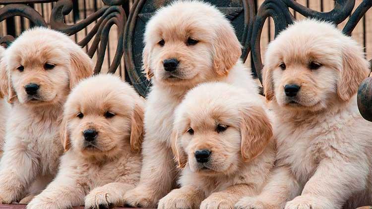Nombres perros golden retriever hembras