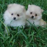 Cachorros de la raza Pomerania Toy