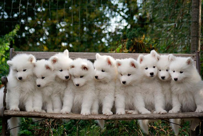 Cachorros de perro Samoyedo
