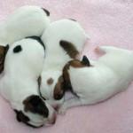 Bebés recién nacidos de Jack Russell