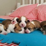 Bebés recién nacidos de Corgi de Pembroke