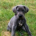 Cachorro de la raza Gran Danés azul