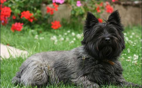 Terrier de Cairn