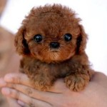 Cachorro de caniche mediano de un mes