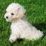 Cachorro de caniche mediano de dos meses.