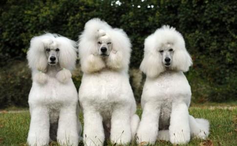 Perros de raza caniche mediano