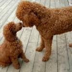 Hembra de caniche mediano con cachorro