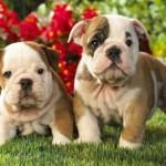 Características del bebé de Bulldog Inglés