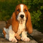 Basset Hound vs Beagle