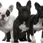 Características de la raza de perros Bulldog Francés