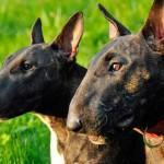Características físicas del bull terrier inglés