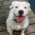 Características del American Bulldog