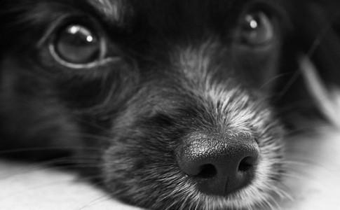 Enfermedad de cataratas en los perros