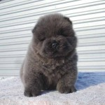 Cachorro de Chow Chow de un mes