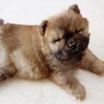 Cachorro de Chow Chow de 2 meses