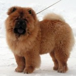 Cachorro de Chow Chow a los 5 meses