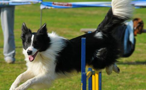 Adiestramiento canino Agility