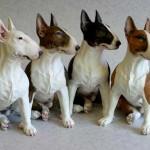 Colores de los perros bull terrier