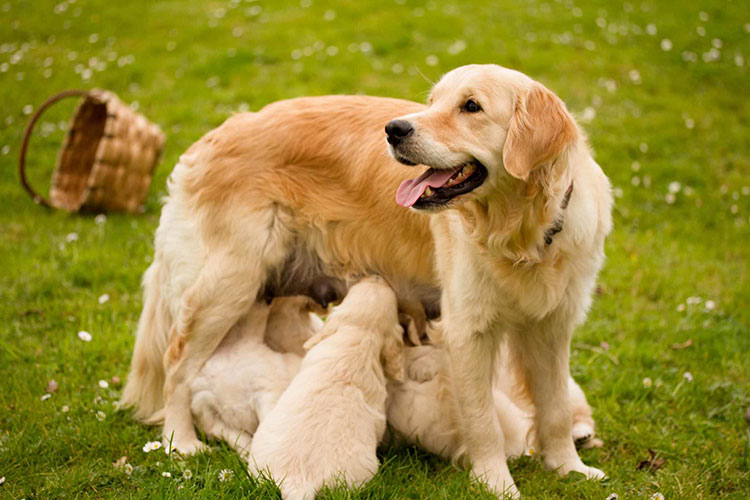 Recomendaciones para parto de perros