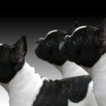 Los cuidados de un Boston Bull Terrier