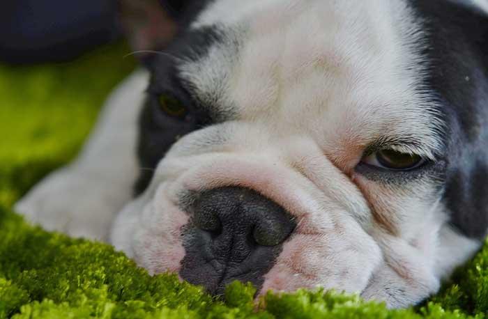 Cómo cuidar un bulldog inglés adulto