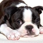 Cuidados para un bebé de Boston Bull Terrier