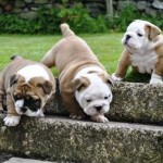 Cuidados de los bebés de Bulldog Inglés