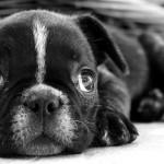 Cuidados de los bebés de Bulldog Francés