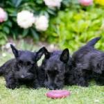 Cuidados para bebés Terrier Escocés