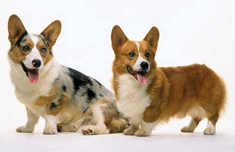 Diferencias entre los perros Corgi Pembroke y Corgi Cardigan