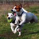 Ejercicio de los perros Terrier de Jack Russell