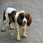 Ejercicio para la raza de perros Springer Spaniel