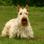 Ejercicio del Scottish Terrier