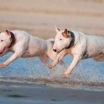 Ejercicio del bull terrier inglés
