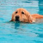Golden Retriever nadando