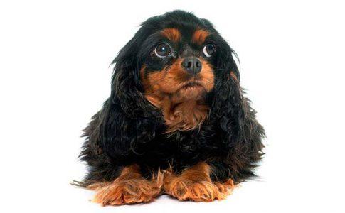 periodo de gestación de los perros por razas
