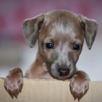 Cachorro de Galgo Inglés de un mes