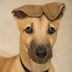 Cachorro de Galgo Inglés de 4 meses
