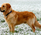 Foto de Golden Retriever