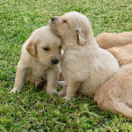 Cachorros de Golden Retriever de 2 meses