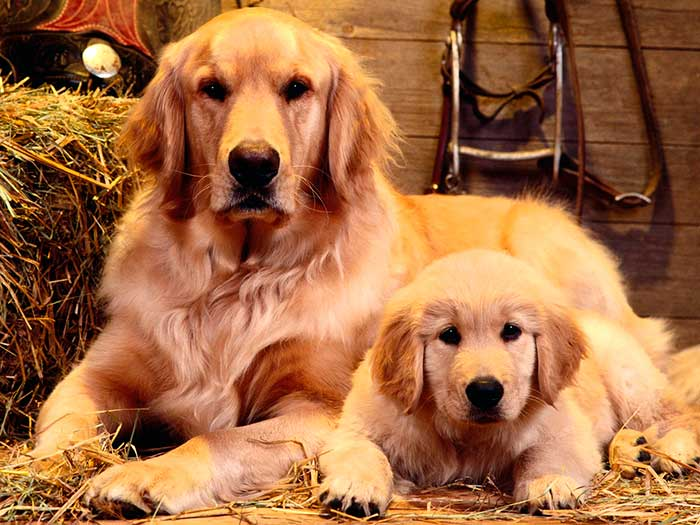 Hembra de Golden Retriever con cachorro