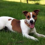 Perro de Jack Russell Terrier